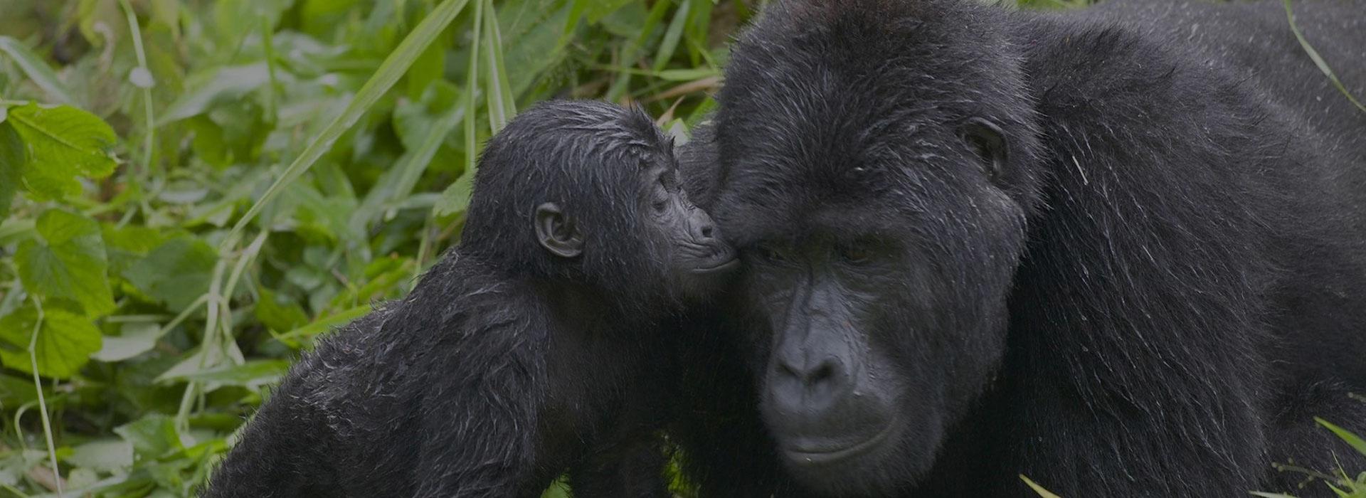 4 days gorilla tracking